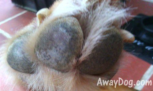 Damaged dog paw