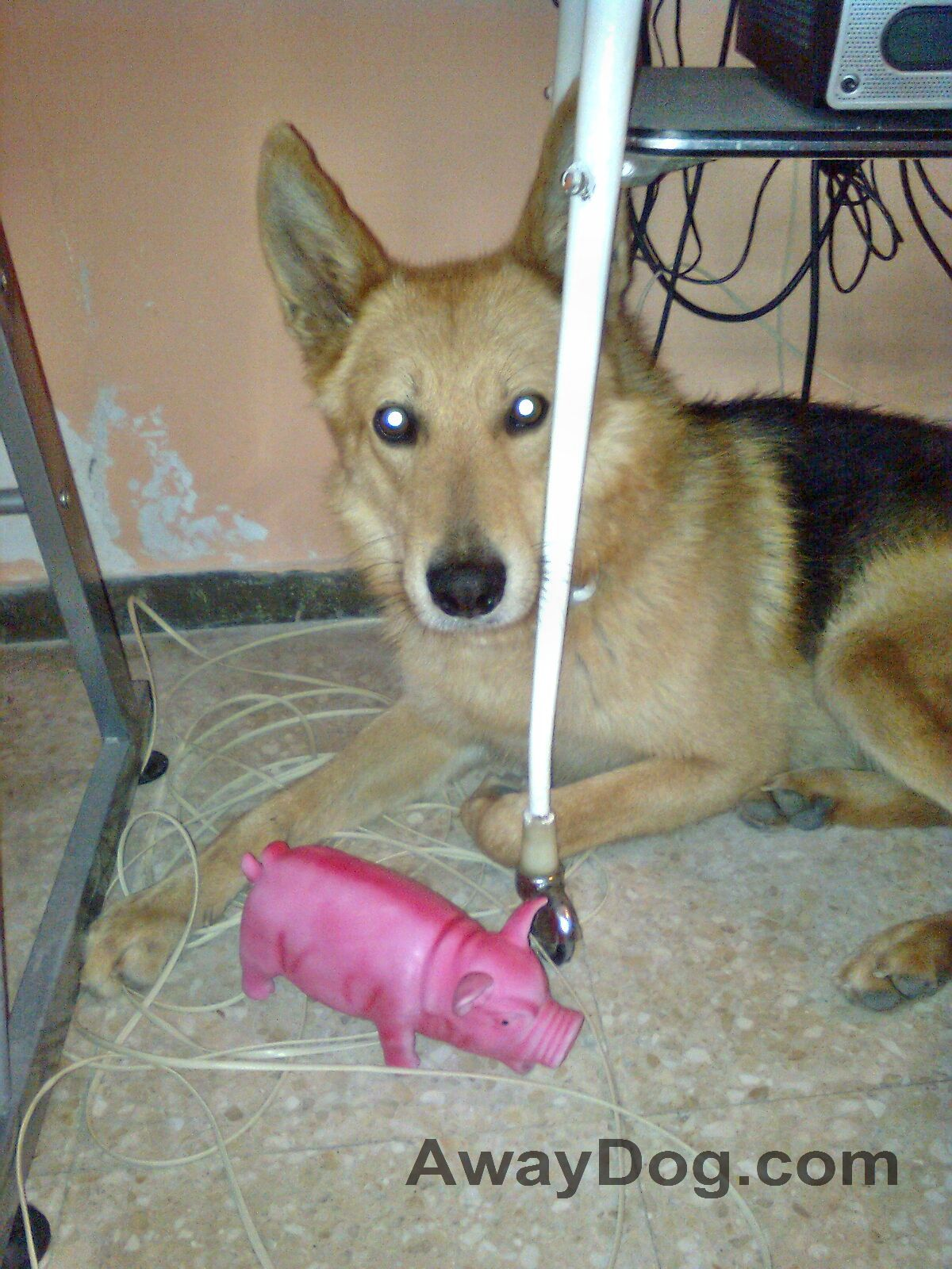 German Shepherd mutt with pink pig